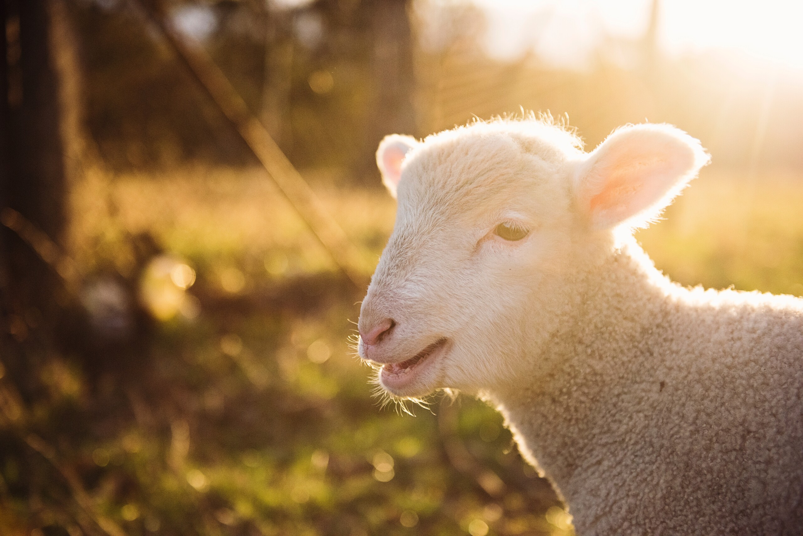 Keep Sheep – Which sheep are right for you?