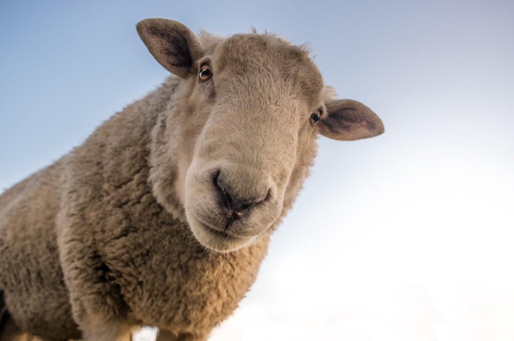 keep-sheep