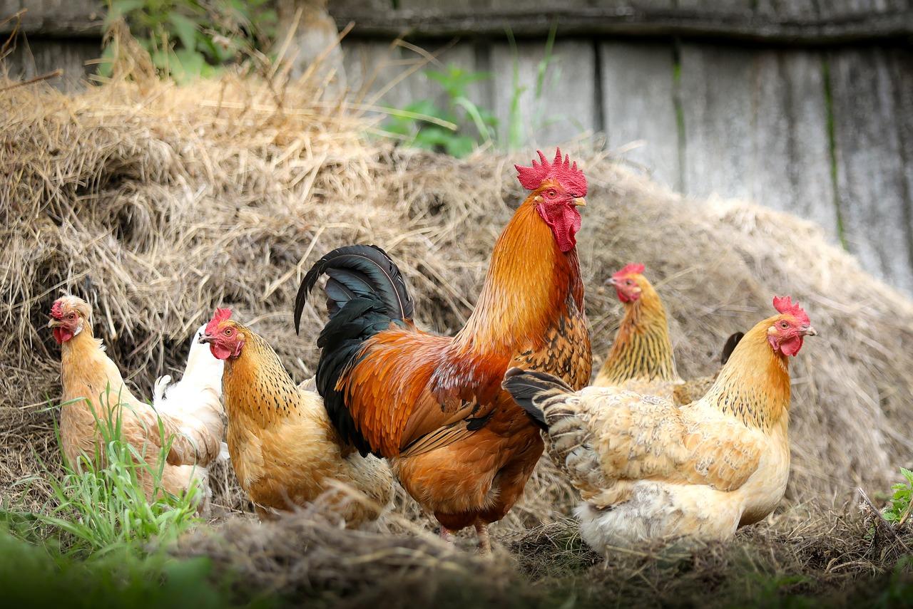 Popular Chicken Breeds for Lifestyle Blocks